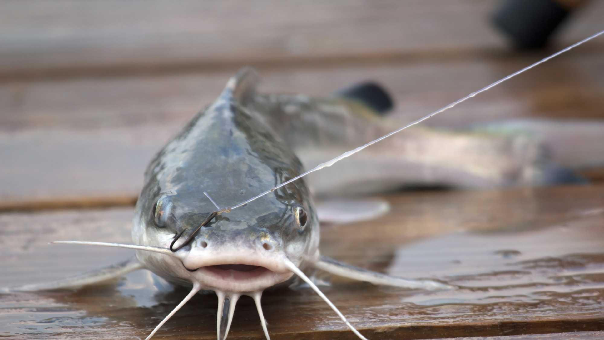 1087014-KMBC-catfish--1.jpg (1)