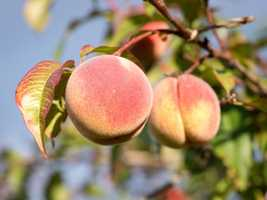The peach was deemed the state tree fruit in 2006.