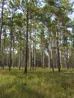 The southern long-leaf pine tree was named the state tree in 1997.