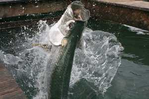 The tarpon was adopted as the Alabama state saltwater fish in 1955.