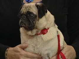 Pug Rescue of NC - Gracie