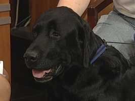 Lab Rescue of NC - Stetson