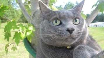 Having age and style is what Blueboy has to offer. This 8-year-old Russian Blue came to us in early September with these big handsome green eyes. He is neutered, up to date on all his vaccines, front de-clawed, and ready to go home today!!! He is looking for that special perch in your loving cozy home. Please come by the cat adoption center to meet and mingle with Blueboy.