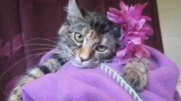 Shenna is a rock star! This frisky feline loves her independence and style. She knows she has swagger, with a swish of her tail you and your family will be drawn to pet this medium haired diva. She is up to date on all her vaccines and around 8-months-old. Come check out this crowd favorite.