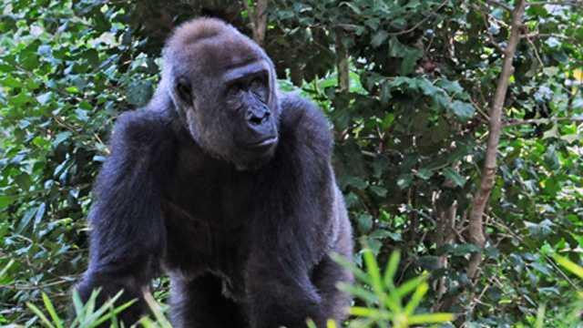 Gorilla to give birth