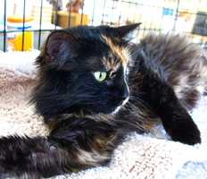 Phoenix is a beautiful 2 year old kitty who came to us as a mommy. She was too sick to care for her babies, and they did not make it. Even after all the sadness, Phoenix is still nothing but completely sweet. She deserves a home that will spoil her for the rest of her life. Visithttp://www.hsaconline.org/ if interested in adoption.