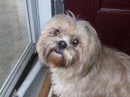 Mars- This sweet Shih Tzu is 2 years old and loves people and other animals. He is very calm and also house trained! Visit http://www.hsaconline.org/ if interested in adoption.