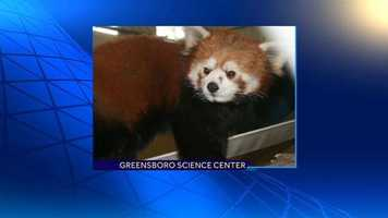 The red panda will be held in quarantine for approximately 30 days before being released into the Animal Discovery exhibit for the public to see.