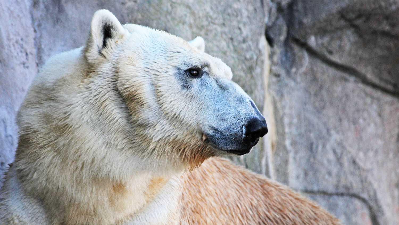 Polar Bear Returns to NC Zoo