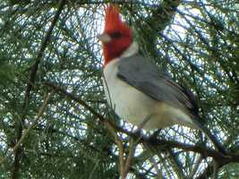 On their travels Angela spotted this cool red-crested Cardinal.