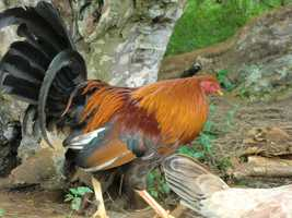 Roosters roam around freely.