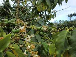 Kauai Coffee Company has beautiful flowering coffee bean trees.