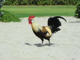 Roosters running wild on the beaches.