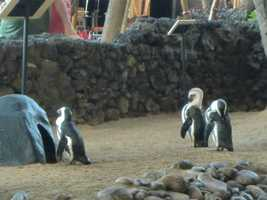There were also penquins at the hotel. This one seems to want to go back in his house.