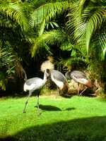 These African Crowned Cranes enjoy the comforts of the Maui hotel grounds. They eat bugs and insects.