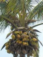 Most people get their coconuts only from a supermarket, so this is a great experience to see what the trees look like and learn how they grow.