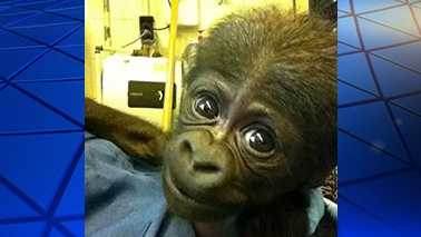 This gorilla was delivered via C-section at the North Carolina Zoo.