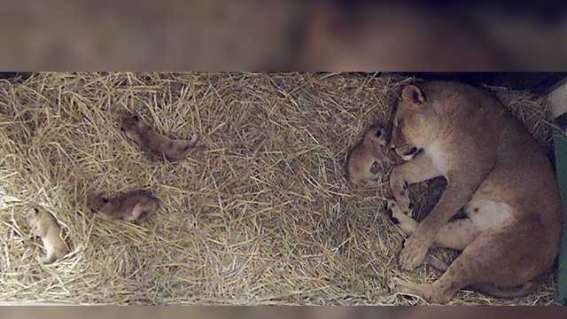 Birth of lion cubs at NC Zoo