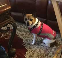 """LOST: Between Stokes Co. and W.S. NC. Male deer-legged Chihuahua dog named """"Buster"""" went missing 10 days ago from home in Stokes Co. Last seen June 9th in area of Willow Creek Rd. & Hwy 268. Dog may be between Stokes Co. and Winston-Salem trying to get home. If you have seen this little guy please email-- winstongirl1974@gmail.com"""