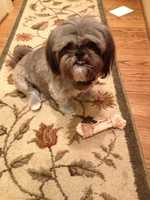 Missing: Union Cross area of Winston Salem, NCMissing 8 year old, under 20 pound, gray, Shi-Tzu named buddy. He ran during the July 4th fire works. Please contact bjbls@aol.com with any information.