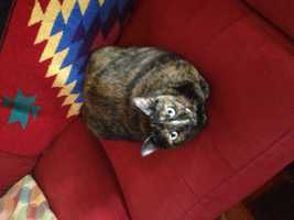 Missing: Brandemere Ln., Winston Salem – REWARD OFFEREDCat escaped from 7105 Brandemere Ln, Unit D on 8/19/2016. Ran into woods behind the building. Domestic shorthair, tortoise shell, spayed female and is chipped (name in database is Namiki, Wayne Rutledge owner)Please contact 336-354-5285 with any information.