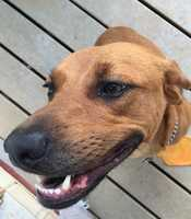 "1 yr. old female Rhodesian Ridgeback dog named ""Apple"" went missing around the Green Valley area off Caswell Dr. in Greensboro, NC.  She has mocha color fur.  If you have seen her please call or text 336-420-9155 OR 336-292-2009."