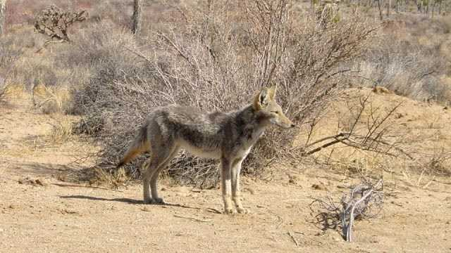 Coyote blurb