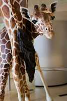A baby giraffe is called a calf. After a 15-month gestation, the calf enters the world feet first.