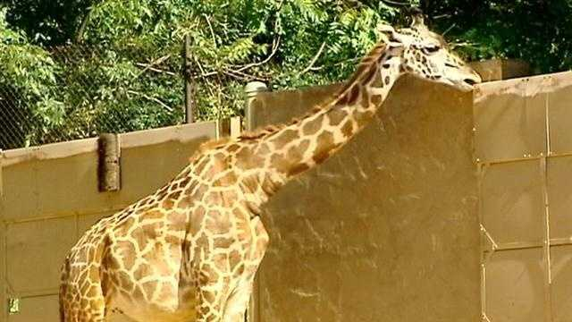 Pregnant giraffe draws big crowds to the Greenville Zoo