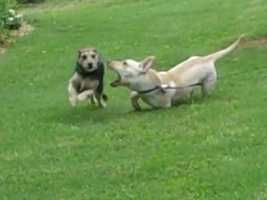 This is Boq trying to catch Emmy, with his stumpy Corgi-mix legs.