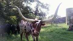 Watsui cow