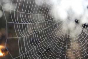 Spider webs stop bleeding, heal wounds: In traditional European medicine, spider webs are used on wounds and cuts to help healing and reduce bleeding. Spider webs are rich in vitamin K, which can be effective in clotting blood. arachnologist Rainer Foelix says a coating on webs may protect old and abandoned webs from fungal and bacterial attack, giving spider webs an antiseptic quality.