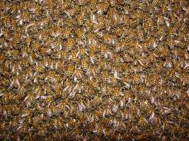 """Bees never get caught in a rain: Bees stick close to their hives just prior to rain. According to experts, bees use light from the sky to orient themselves. Before it rains, there are ice crystals in the clouds which foul bees' ability to """"see,"""" so they move inside before it rains, according to Examiner.com."""