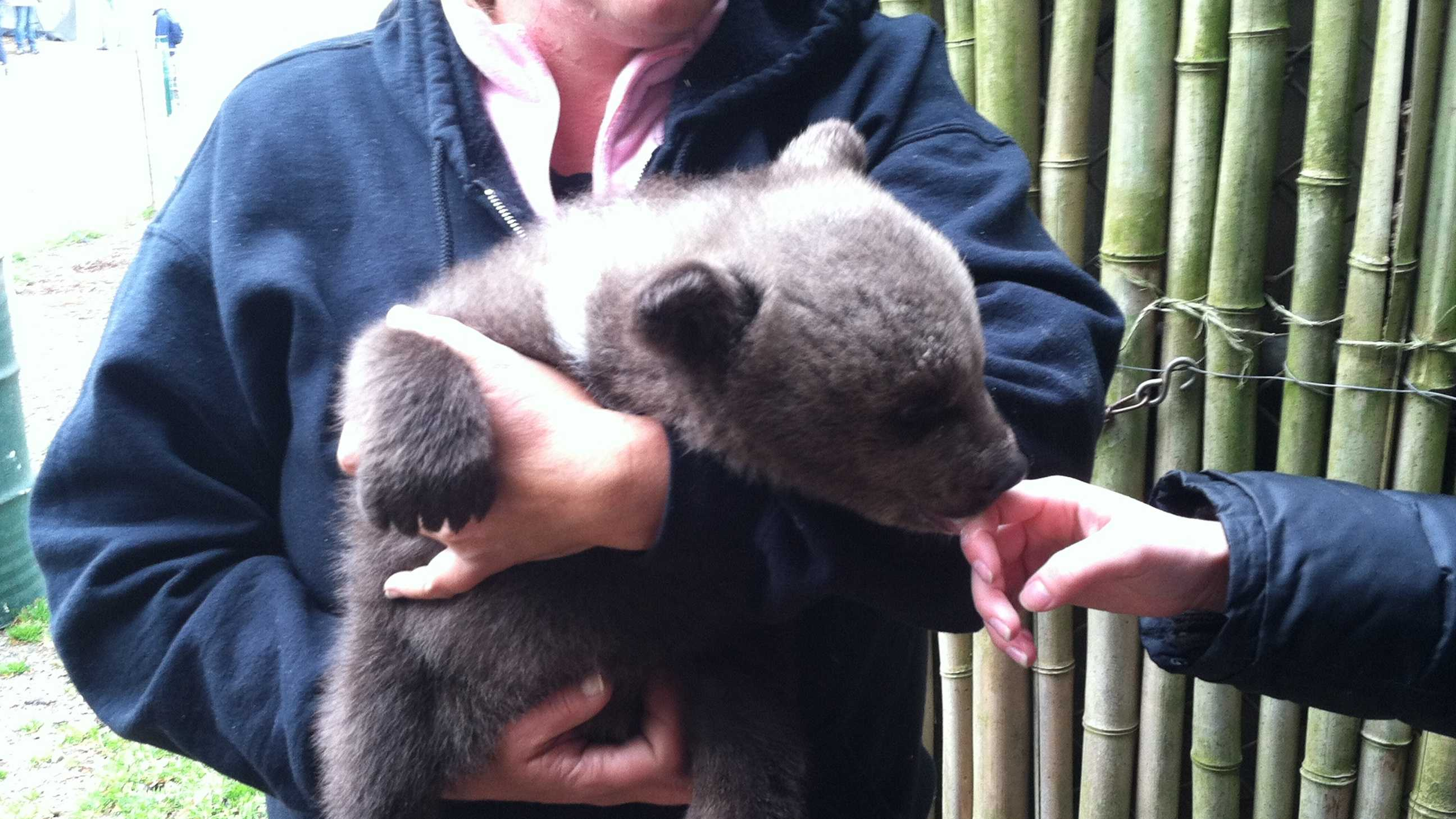 A Syrian brown bear cub makes her public debut at Hollywild Animal Park.