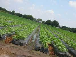 One acre of land planted with strawberry plants produces about 50,000 pounds of strawberries.