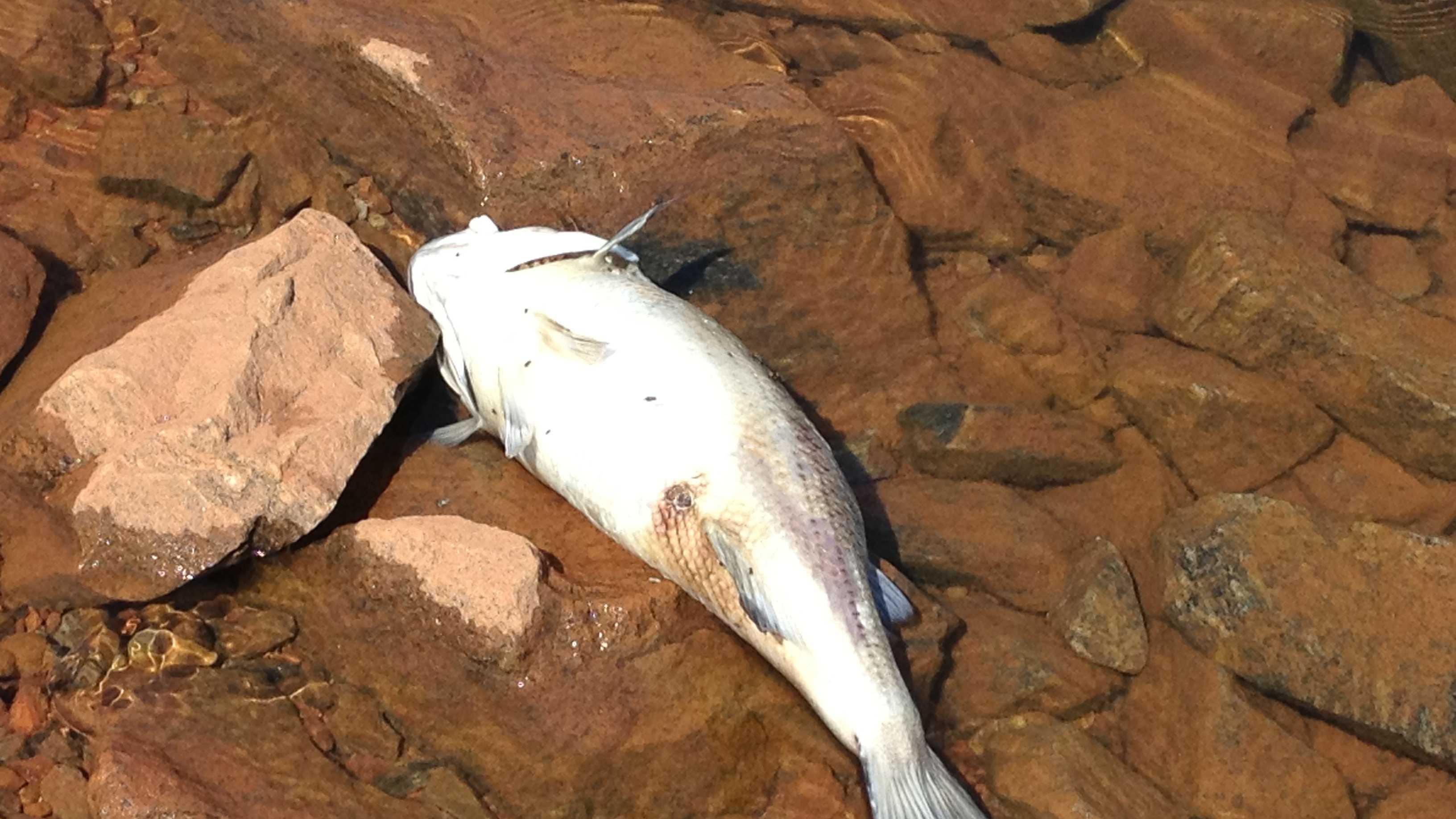 Dead fish (striped bass)