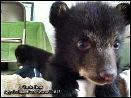 Here is a look at Carrie as a youngster. Keep clicking for more pictures of the cubs from the Appalachian Bear Rescue.