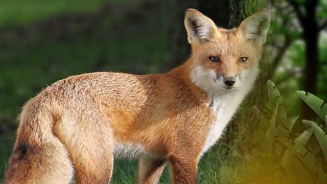 Fox generic