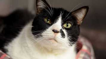 Jetty (A0265922) – 9 year old female Domestic Shorthair. Learn all about me by clicking on my link! If you are interested in adopting me, please come visit me at Peggy Adams Animal Rescue League or call their Adoption Department at 561-686-6656. View my other kitty friends available for adoption HERE.