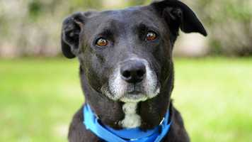 Tila (A3725160) – 9 year old 55 lb. female mixed breed. Learn all about me by clicking on my link! If you are interested in adopting me, please come visit me at Peggy Adams Animal Rescue League or call their Adoption Department at 561-686-6656. View my other doggy friends available for adoption HERE.