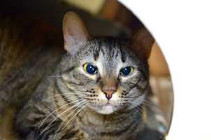 Pepper (A0266886) – 5 year old female Domestic Shorthair. Learn all about me by clicking on my link! If you are interested in adopting me, please come visit me at Peggy Adams Animal Rescue League or call their Adoption Department at 561-686-6656. View my other kitty friends available for adoption HERE.