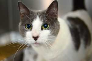 Spot (A0269037) – 5 year old female Domestic Shorthair. Learn all about me by clicking on my link! If you are interested in adopting me, please come visit me at Peggy Adams Animal Rescue League or call their Adoption Department at 561-686-6656. View my other kitty friends available for adoption HERE.