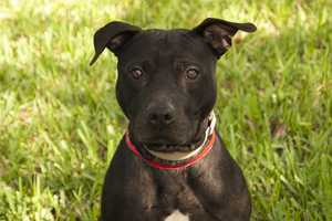 Enzo (A0280514) –2 year old 43 lb. male mixed breed. Learn all about me by clicking on my link! http://www.petharbor.com/pet.asp?uaid=PBHS.A0280514 If you are interested in adopting me, please come visit me at Peggy Adams Animal Rescue League or call their Adoption Department at 561-686-6656. View my other doggy friends available for adoption at http://www.peggyadams.org/index.cfm?fuseaction=pages.adoptable-dogs.