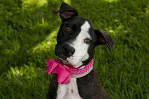 Ophelia (A0280875) – 5 year old 52 lb. female mixed breed. Learn all about me by clicking on my link! http://www.petharbor.com/pet.asp?uaid=PBHS.A0280875 If you are interested in adopting me, please come visit me at Peggy Adams Animal Rescue League or call their Adoption Department at 561-686-6656. View my other doggy friends available for adoption at http://www.peggyadams.org/index.cfm?fuseaction=pages.adoptable-dogs.