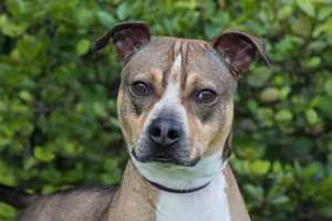 Pierre (A0281573) –3 year old 68 lb. male mixed breed. Learn all about me by clicking on my link! http://www.petharbor.com/pet.asp?uaid=PBHS.A0281573 If you are interested in adopting me, please come visit me at Peggy Adams Animal Rescue League or call their Adoption Department at 561-686-6656. View my other doggy friends available for adoption at http://www.peggyadams.org/index.cfm?fuseaction=pages.adoptable-dogs.