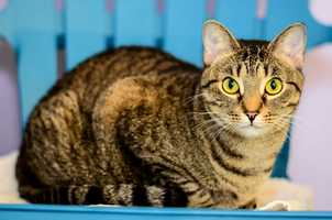 Sammy (A0281185) –2 year old female Domestic ShorthairLearn all about me by clicking on my link! If you are interested in adopting me, please come visit me at Peggy Adams Animal Rescue League or call their Adoption Department at 561-686-6656. View my other kitty friends available for adoption at HERE.