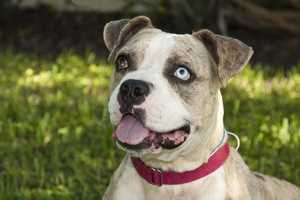 Izzy (A0284997) – 2 year old 50 lb. male mixed breedLearn all about me by clicking on my link! If you are interested in adopting me, please come visit me at Peggy Adams Animal Rescue League or call their Adoption Department at 561-686-6656. View my other doggy friends available for adoption HERE.