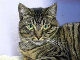Ana (A0264805) – 2 year old female Domestic ShorthairLearn all about me by clicking on my link! If you are interested in adopting me, please come visit me at Peggy Adams Animal Rescue League or call their Adoption Department at 561-686-6656. View my other kitty friends available for adoption at HERE.