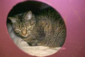 Jasmine (A0286585) – 13 year old female Domestic ShorthairLearn all about me by clicking on my link! If you are interested in adopting me, please come visit me at Peggy Adams Animal Rescue League or call their Adoption Department at 561-686-6656. View my other kitty friends available for adoption at HERE.