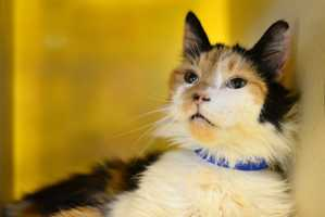 Nika (A0287749) – 5 year old female Domestic MediumhairLearn all about me by clicking on my link! If you are interested in adopting me, please come visit me at Peggy Adams Animal Rescue League or call their Adoption Department at 561-686-6656. View my other kitty friends available for adoption at HERE.